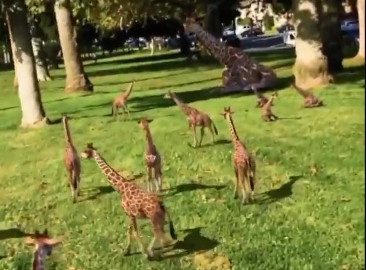 Фото №1 - Видео с выводком жирафят набрало 8 миллионов просмотров за сутки