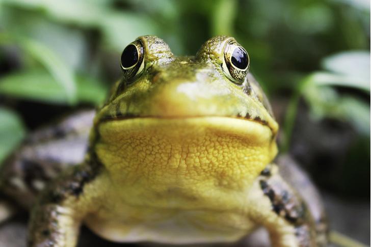 Фото №1 - Почему у спокойно сидящей лягушки колышется горло?