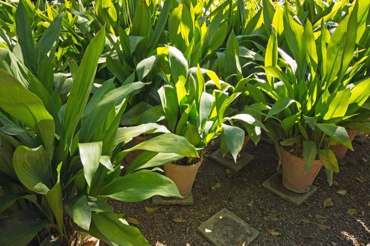 Фото №7 - Комнатные растения, которые помогут пережить сезон простуд