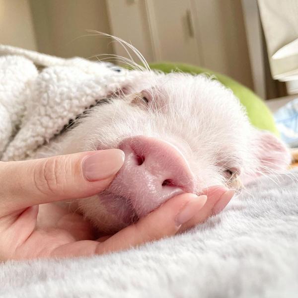 Фото №7 - На кого подписаться: самый милый мини-пиг на свете, который растопит твое сердце 🐽
