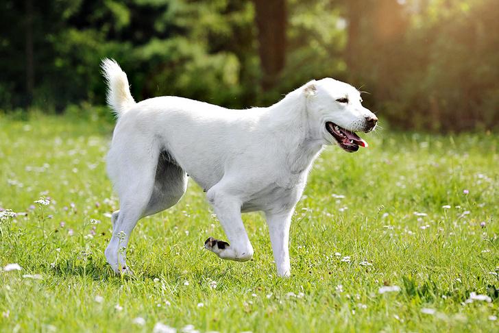Фото №1 - Зачем собакам некоторых пород купируют хвосты?