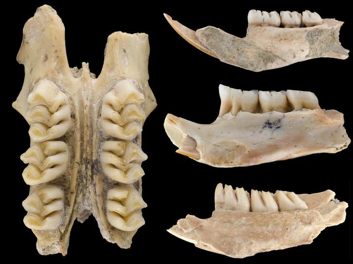 Фото №1 - Обнаружены останки крупнейших крыс в Евразии