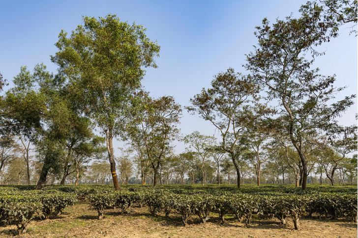 Фото №1 - Когда стали выращивать чай в Индии?