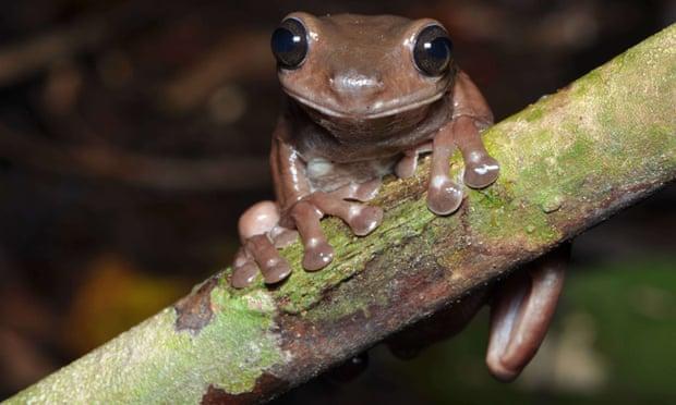 Фото №1 - В Новой Гвинее обнаружили «шоколадных» лягушек