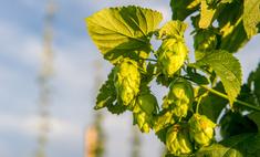 Способы выращивания хмеля из семян