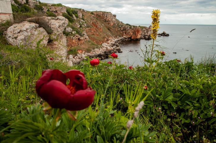 Фото №1 - Дикий соперник розы: где в России найти одно из самых красивых лекарственных растений