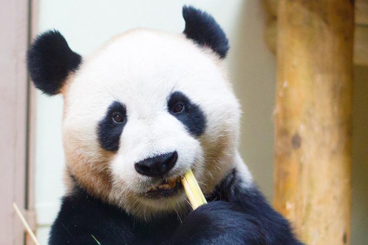 Фото №1 - Милота дня: большим пандам больше не грозит вымирание