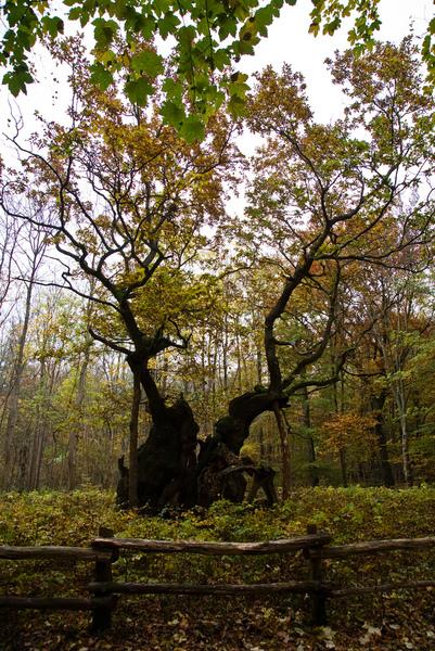 Фото №7 - 9 самых старых деревьев планеты