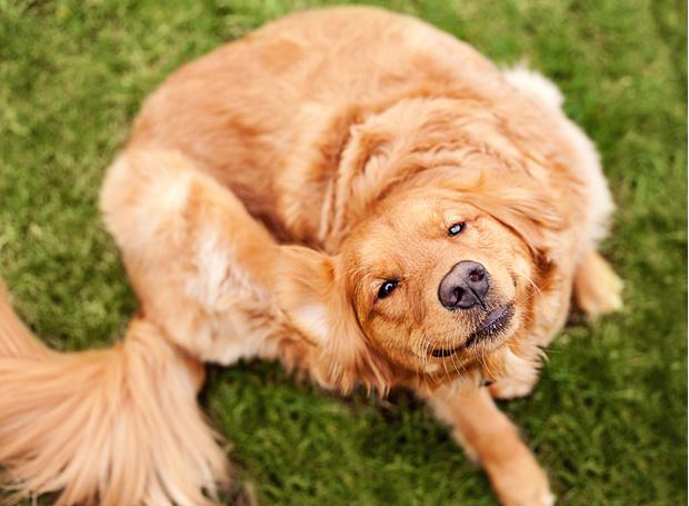 чем потравить блох собаке в домашних условиях