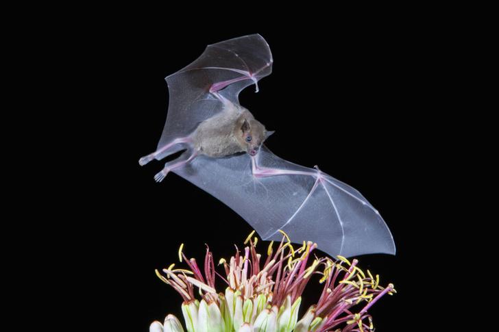 Фото №1 - Перец благоухает благодаря летучим мышам