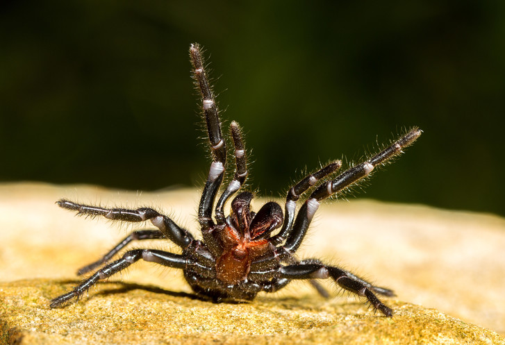 Фото №1 - Яд какого паука может спасти человека от инфаркта