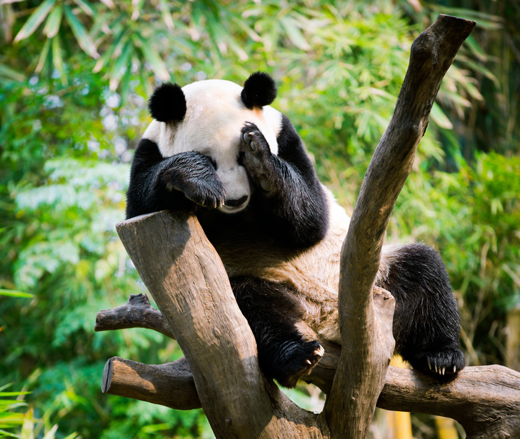 Фото №1 - В Китае исключили больших панд из списка вымирающих видов