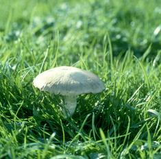 Описание гриба печерица и секреты вкусного приготовления