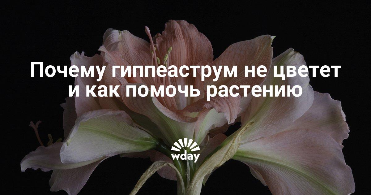 Почему не цветет гиппеаструм в домашних