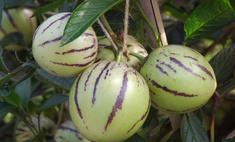 Советы по посадке и выращиванию пепино