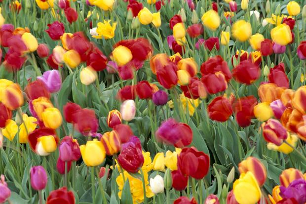 как ускорить рост тюльпанов в теплице
