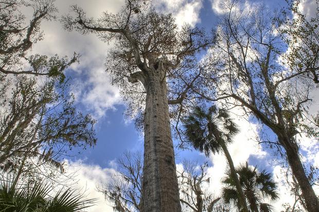 Фото №3 - 9 самых старых деревьев планеты