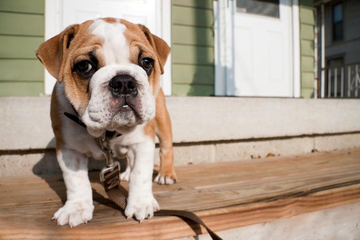 английский бульдог, породы собак для квартиры, собаки для квартиры, тихие породы собак, породы собак для детей