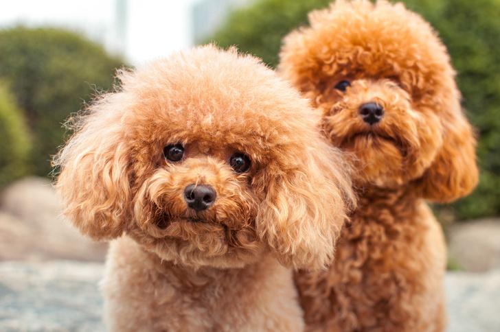 Фото №6 - 5 пород собак-долгожителей и 5 самых недолговечных