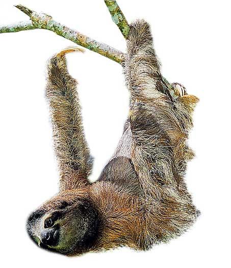 Фото №2 - Ленивец: древесный тихоход