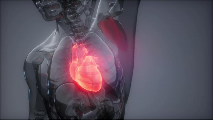 Фото №1 - Почему сердечная мышца не утомляется?