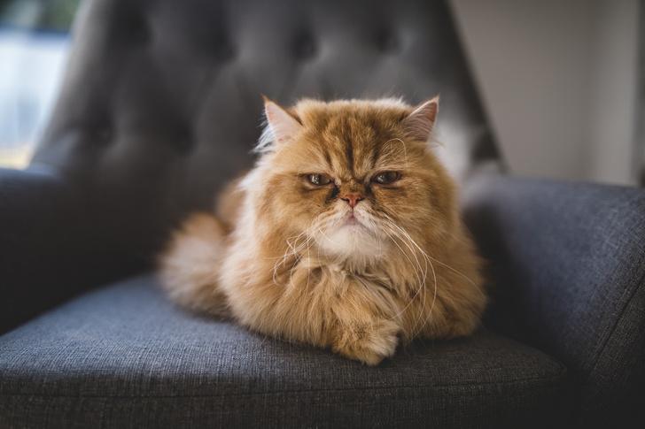 Фото №7 - Овну— мау, Раку— сфинкс: какая кошка подходит вам по знаку зодиака