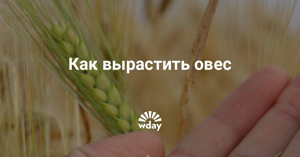 Овес как выращивать