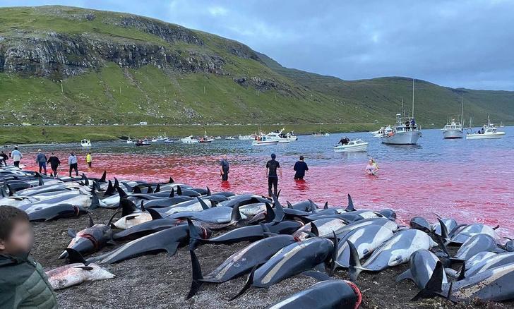гриндадрап, фарерские острова, дания, дельфины, охота на дельфинов