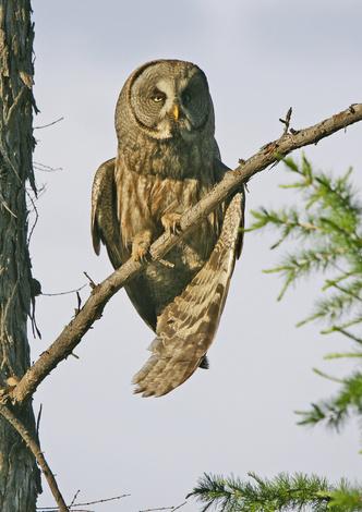 Фото №5 - Властелины ночи: почему совы не то, чем кажутся?