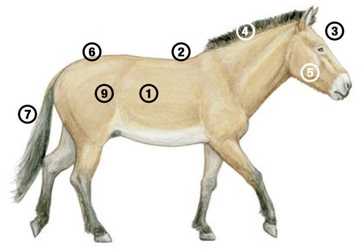 Фото №5 - Лошадь, которой нет: как возрождали исчезающих лошадей Пржевальского. Проект РГО
