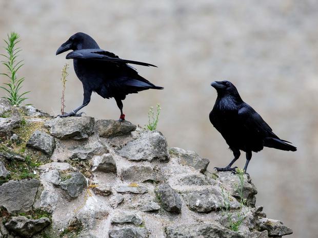 Фото №3 - Дурное знамение: что грозит британской монархии (и при чем здесь вороны и Тауэр)