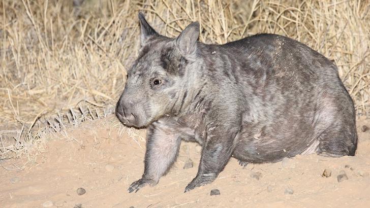 Фото №1 - Численность исчезающих квинслендских вомбатов начала увеличиваться