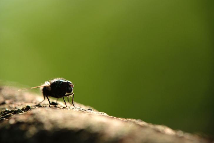 Фото №1 - У дрозофил голод берет верх над желанием спариваться