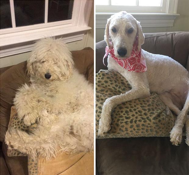 Фото №3 - 20 собак, которым не по душе их новая стрижка: фото до и после
