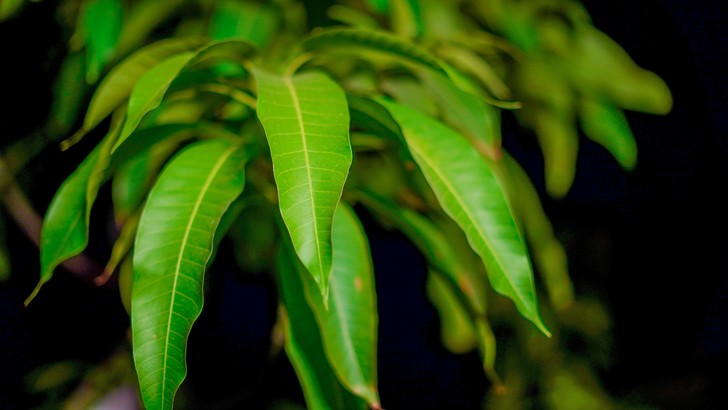 Фото №1 - Ученые создали антибактериальный биопластик из листьев манго