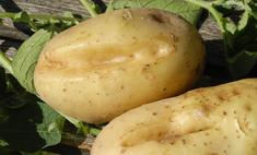 Как лечить паршу картофеля