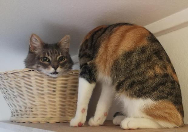 Оптическая иллюзия, кошки