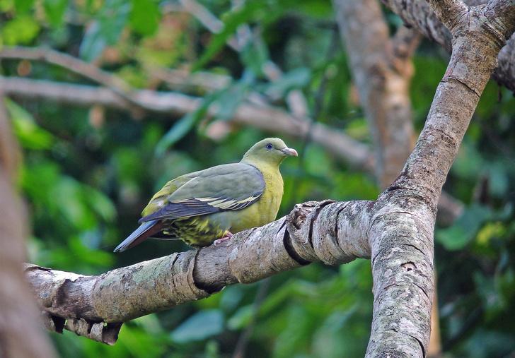 Фото №3 - Редкий, яркий и скрытный: кто такой зеленый голубь