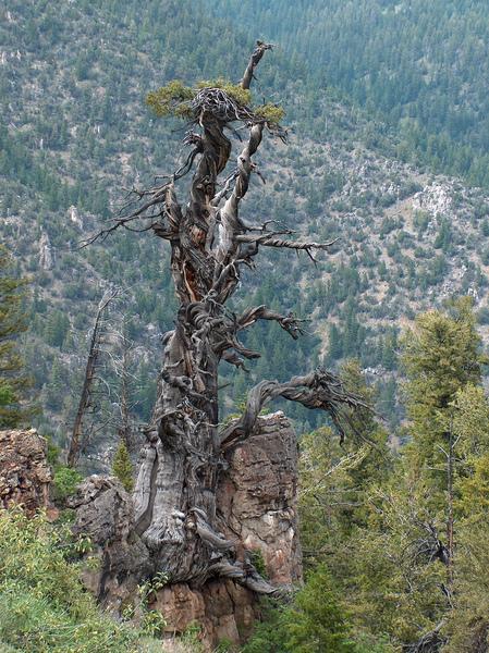 Фото №5 - 9 самых старых деревьев планеты