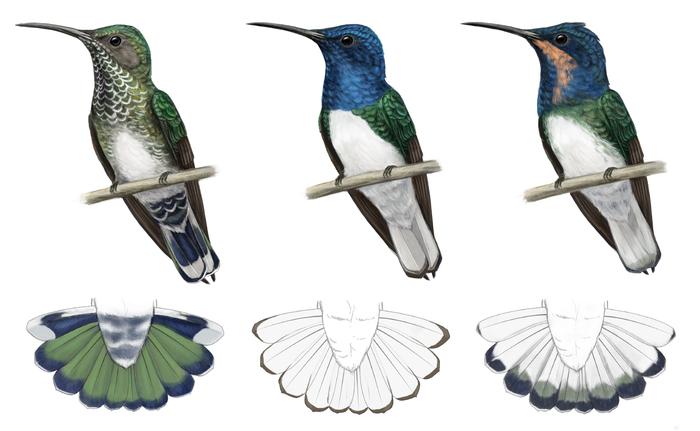 Фото №2 - Орнитологи обнаружили, что самки колибри «маскируются» под самцов, чтобы избежать притеснений