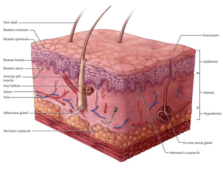Фото №1 - Какие клетки человека не делятся?