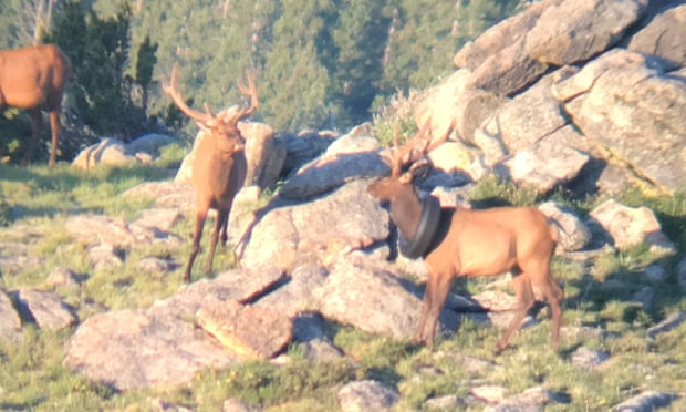Фото №1 - В США с шеи оленя сняли покрышку
