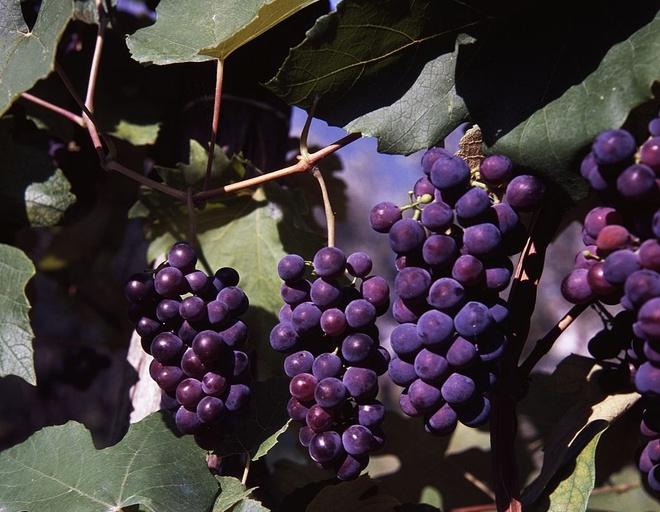рецепт самогона из винограда