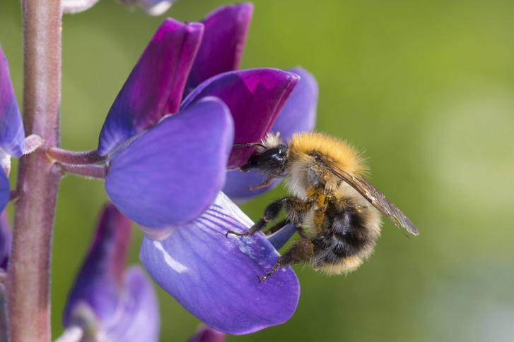 Фото №1 - Кофеин повышает работоспособность шмелей и пчел
