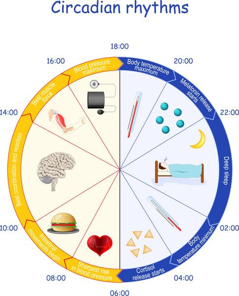 Фото №1 - Циркадные ритмы сна: что это такое и почему так важно в них разбираться