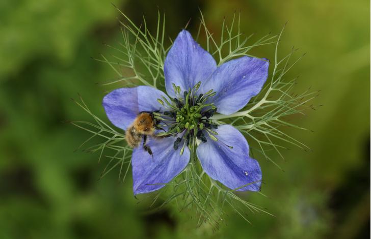 Nigella sativa, чернушка посевная: растение от коронавируса