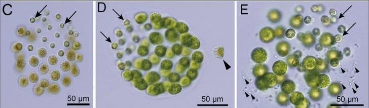 Фото №2 - Ученые обнаружили трехполые водоросли