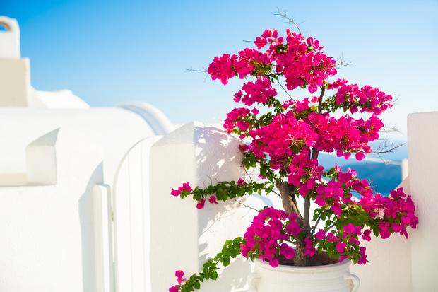 Фото №7 - 8 модных средиземноморских растений для балкона и патио