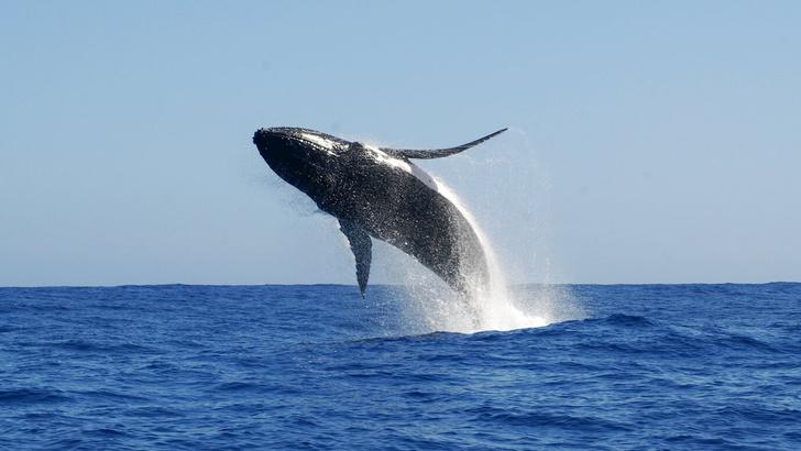 Фото №1 - Ученые рассказали о репертуаре горбатых китов