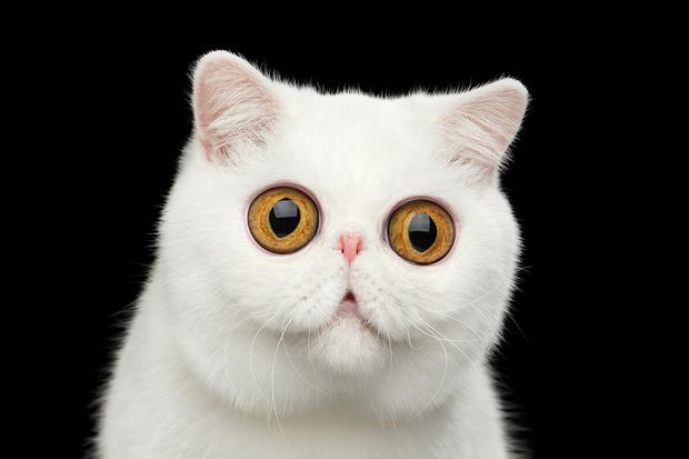 Фото №1 - Тест: Нейросеть научилась генерировать котиков. Сможешь отличить их от настоящих?